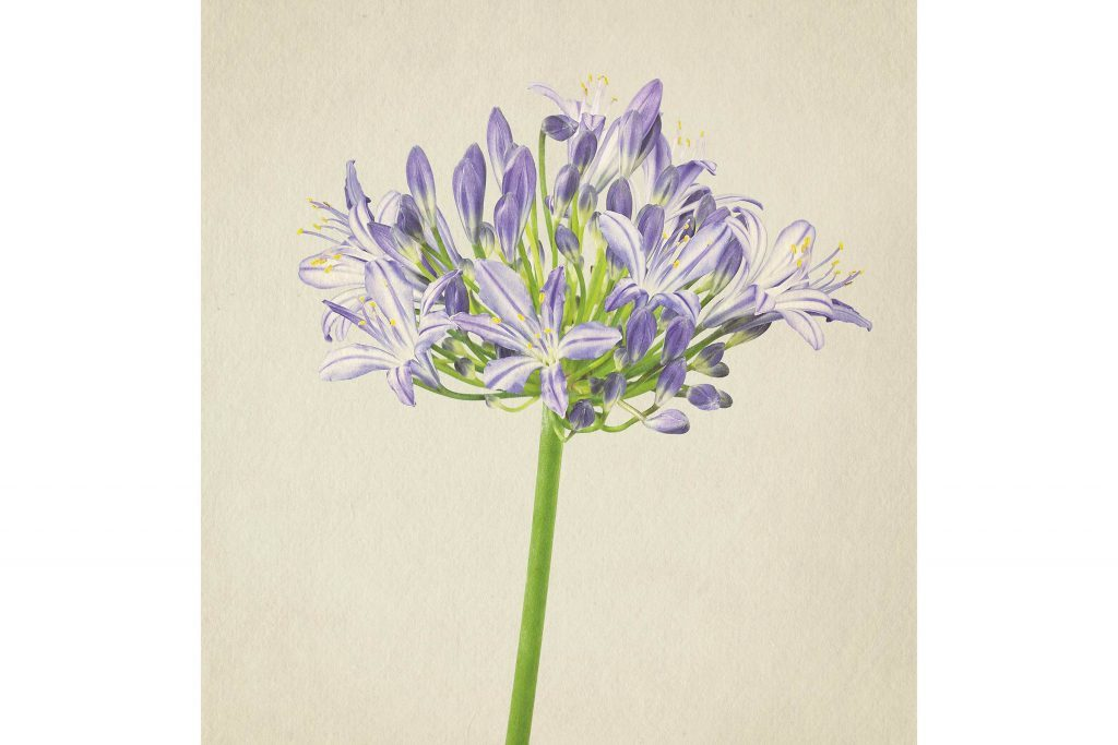 you-wont-believe-these-flowers-are-actually-photos-Agapanthus-Richard-maxted