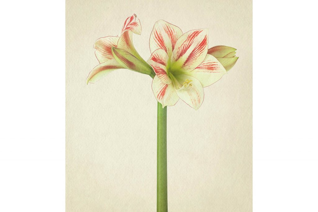 you-wont-believe-these-flowers-are-actually-photos-Amarylis-Richard-maxted
