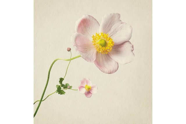 you-wont-believe-these-flowers-are-actually-photos-Anenome-Richard-maxted