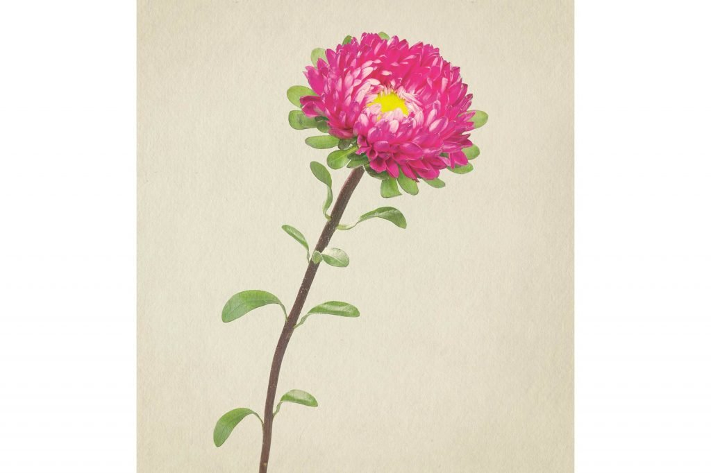 you-wont-believe-these-flowers-are-actually-photos-Aster-Richard-maxted