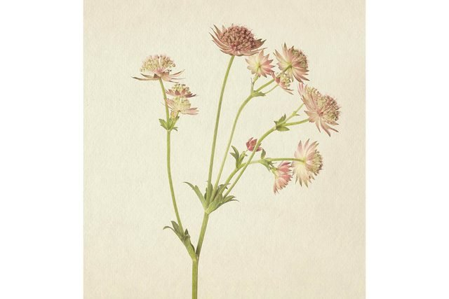 you-wont-believe-these-flowers-are-actually-photos-Astrantia-Richard-maxted