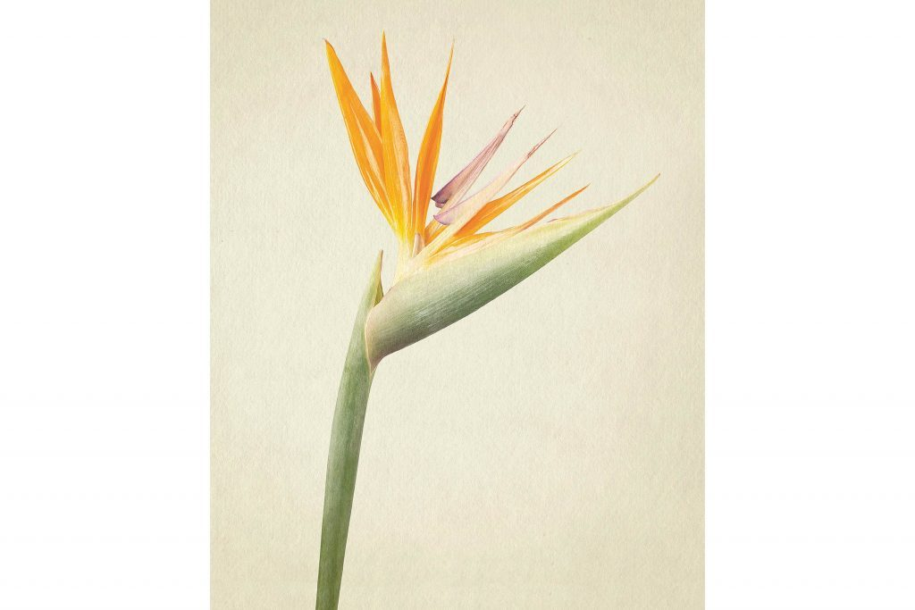 you-wont-believe-these-flowers-are-actually-photos-Bird-of-Paradise-Richard-maxted