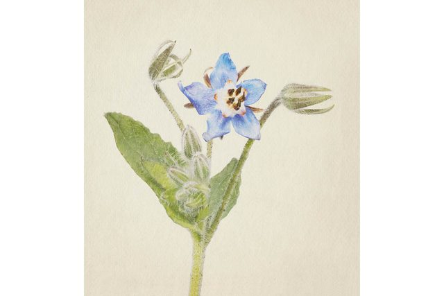 you-wont-believe-these-flowers-are-actually-photos-Borage-Richard-maxted