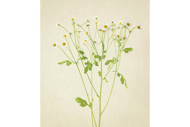 you-wont-believe-these-flowers-are-actually-photos-Chamomile-Richard-maxted