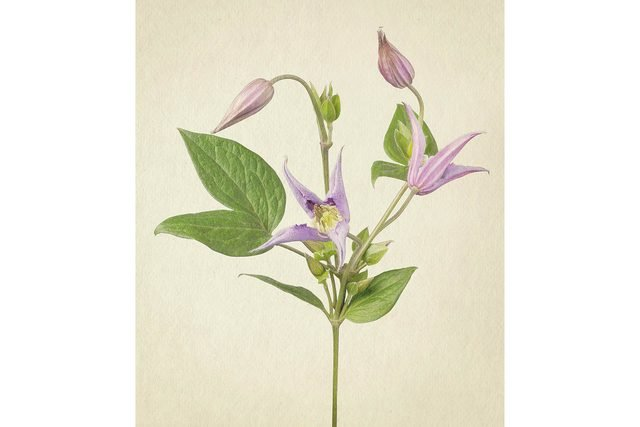 you-wont-believe-these-flowers-are-actually-photos-Clematis-Richard-maxted