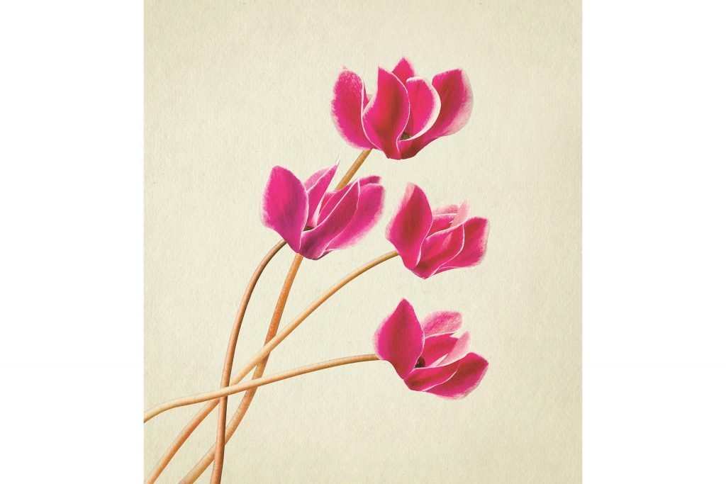 you-wont-believe-these-flowers-are-actually-photos-Cyclamen-Richard-maxted