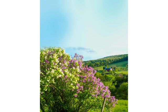The Smell of Lilacs Reminds me of My Childhood
