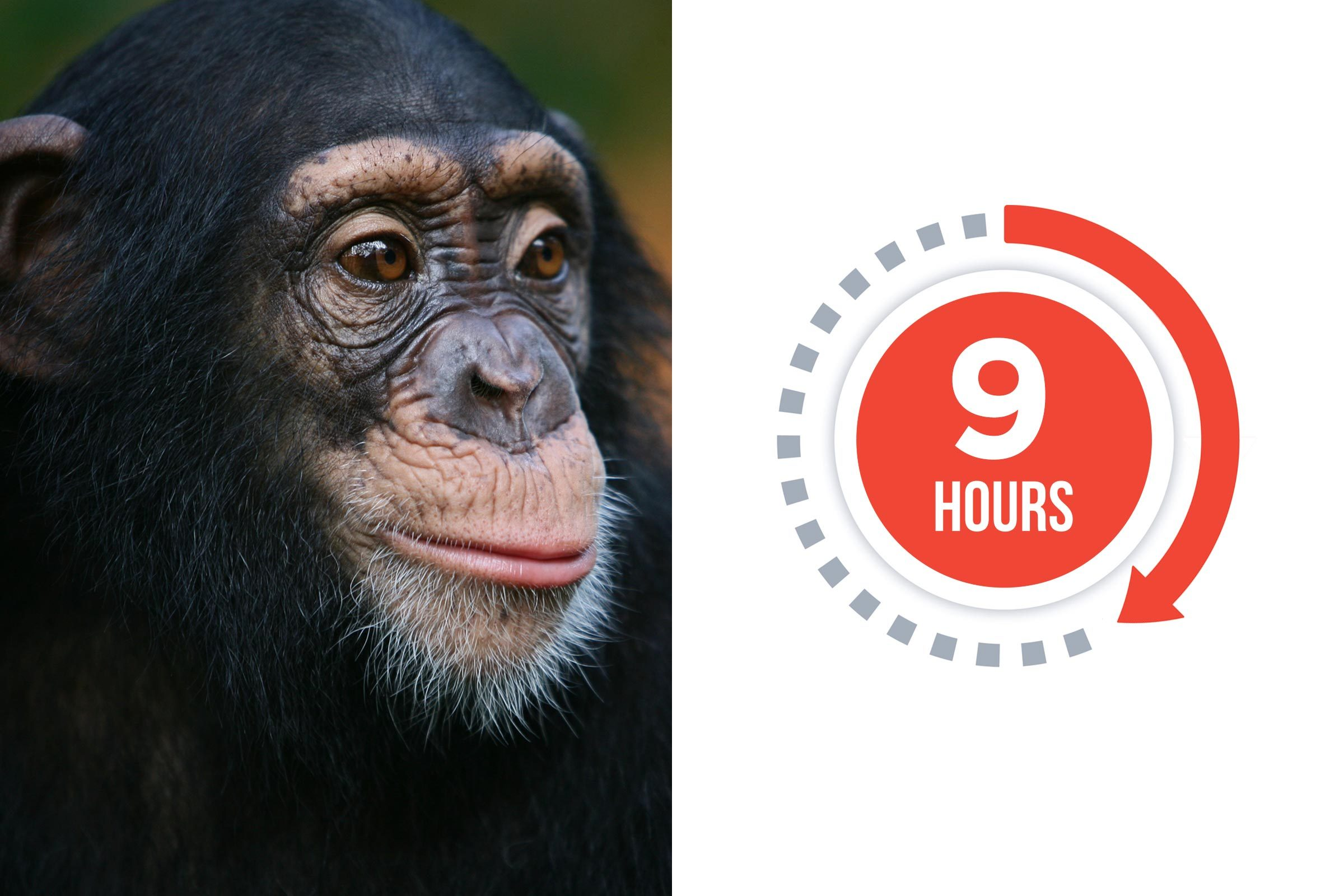 06-chimp-You-vs.-These-Adorable-Animals--Who-Sleeps-More