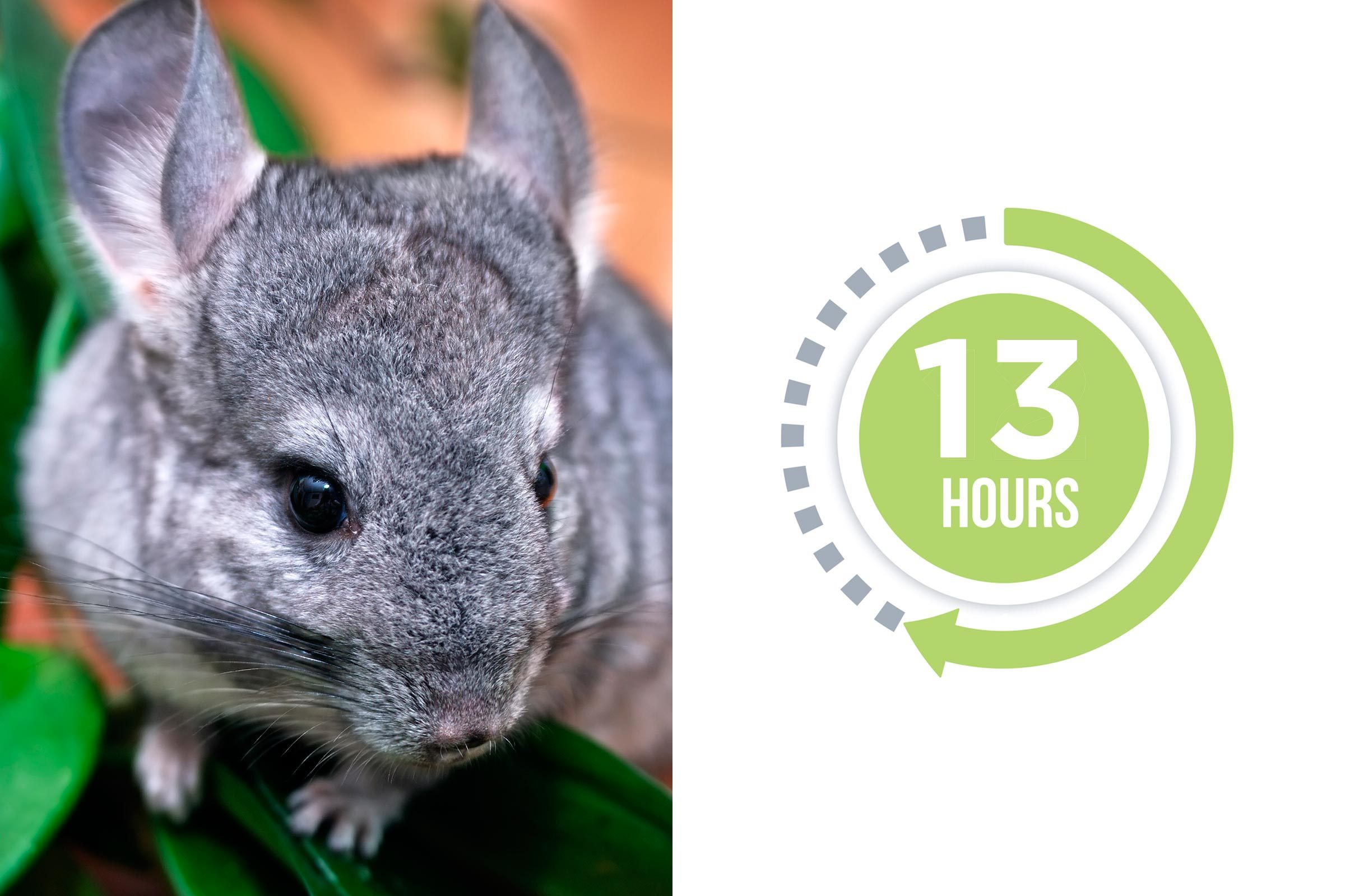 07-chinchilla-You-vs.-These-Adorable-Animals--Who-Sleeps-More