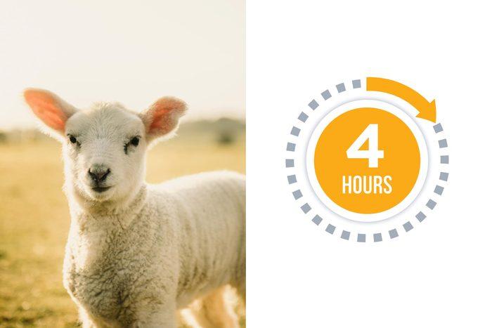 08a-sheep-You-vs.-These-Adorable-Animals--Who-Sleeps-More