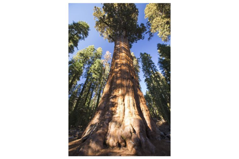The General Sherman tree a Giant Redwood, or Sequoia, Sequoiadendron giganteum, in Sequoia National Park, California, USA.It is one of the largest tree on the planet.