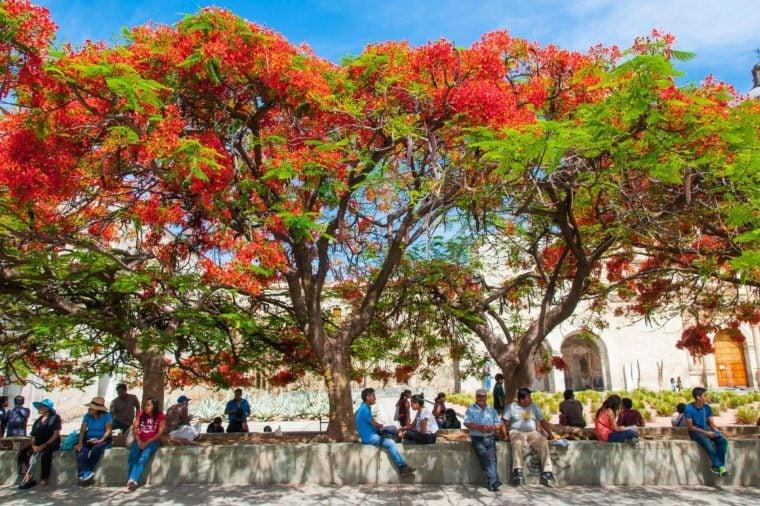 People sitting on a wall under a Flame Tree (Delonix regia) in front of the monastery of Santo Domingo de Guzman, center, Oaxaca, Mexico