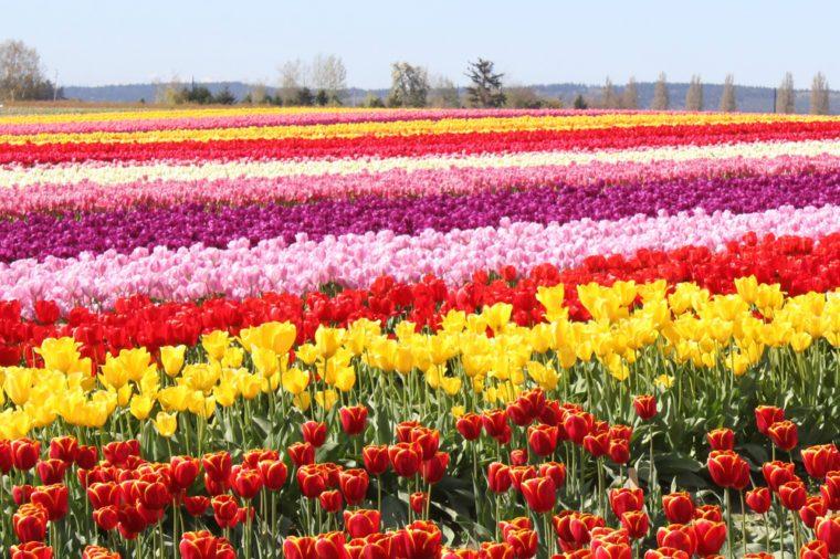 Tulip Fields in the Skagit Valley Washington