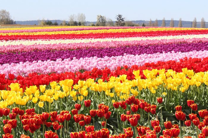 Tulip Fields in the Skagit Valley Washington