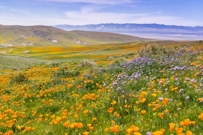 Wildflowers blooming on the hills in springtime, California