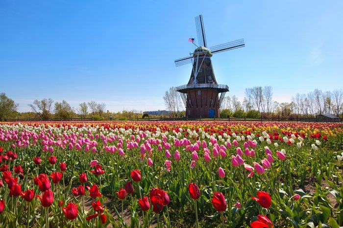 Windmill in Holland Michigan - An authentic wooden windmill from the Netherlands rises behind a field of tulips in Holland Michigan at Springtime.