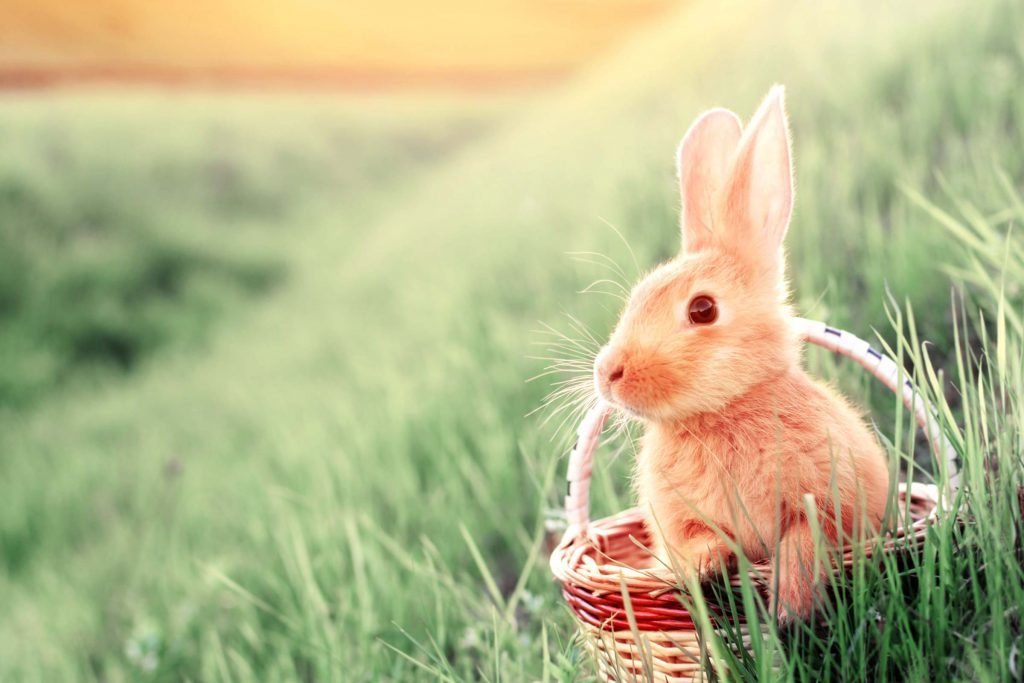 Why Are Bunnies So Popular for Easter Readers Digest
