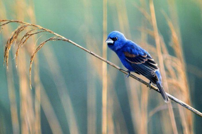 bluegrosbeak