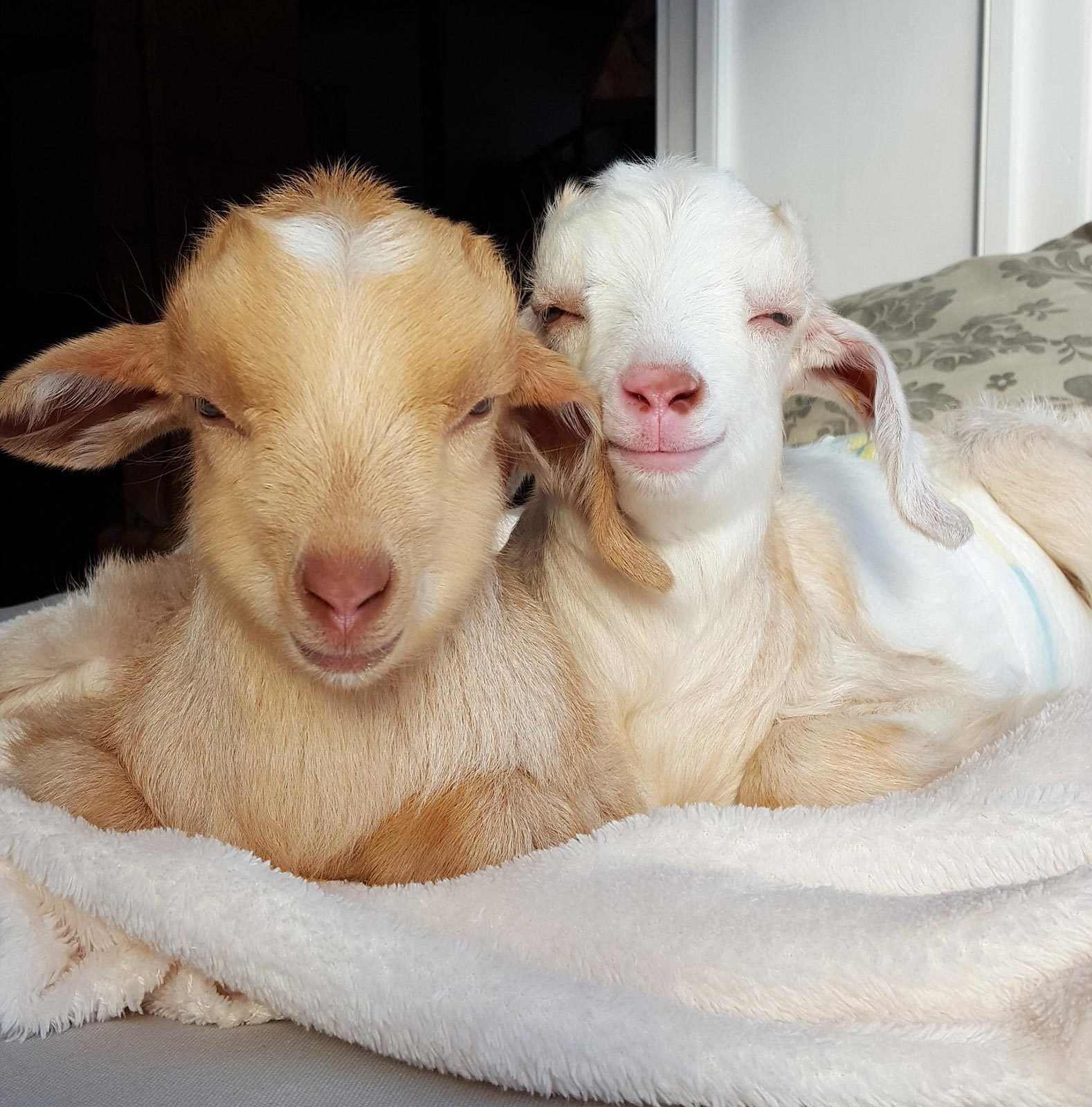 two baby goats snuggled together sitting on a blanket