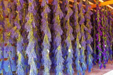 「Lavender Farm:  Washington Island, Wisconsin, USA」の画像検索結果