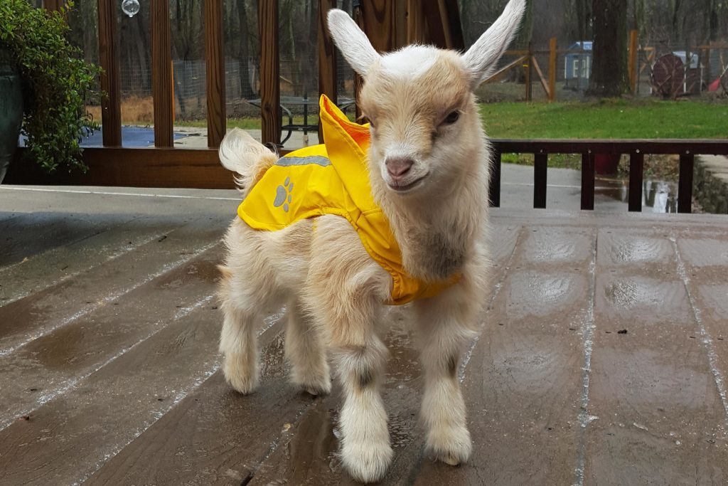 How Much Is A Baby Goat >> These Baby Goat Will Instantly Brighten Your Day Reader S