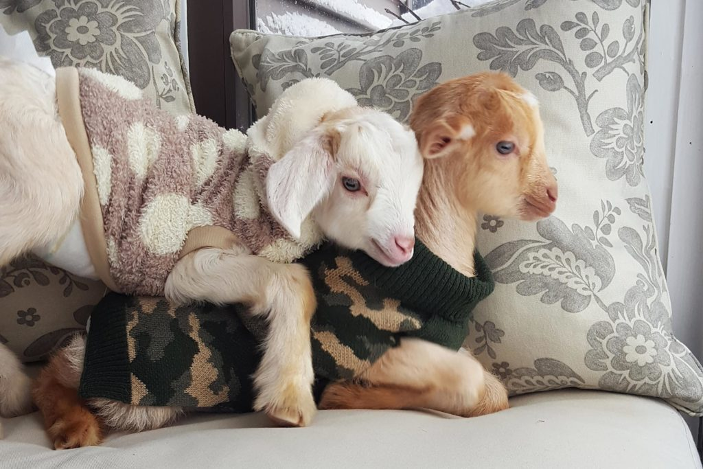 These Baby Goat Will Instantly Brighten Your Day Readers Digest - Funny dog wedding photos will make your day