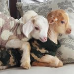 These Precious Baby Goats Will Make Your Day SO Much Better