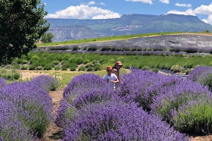 Palisade, Colorado, USA lavender