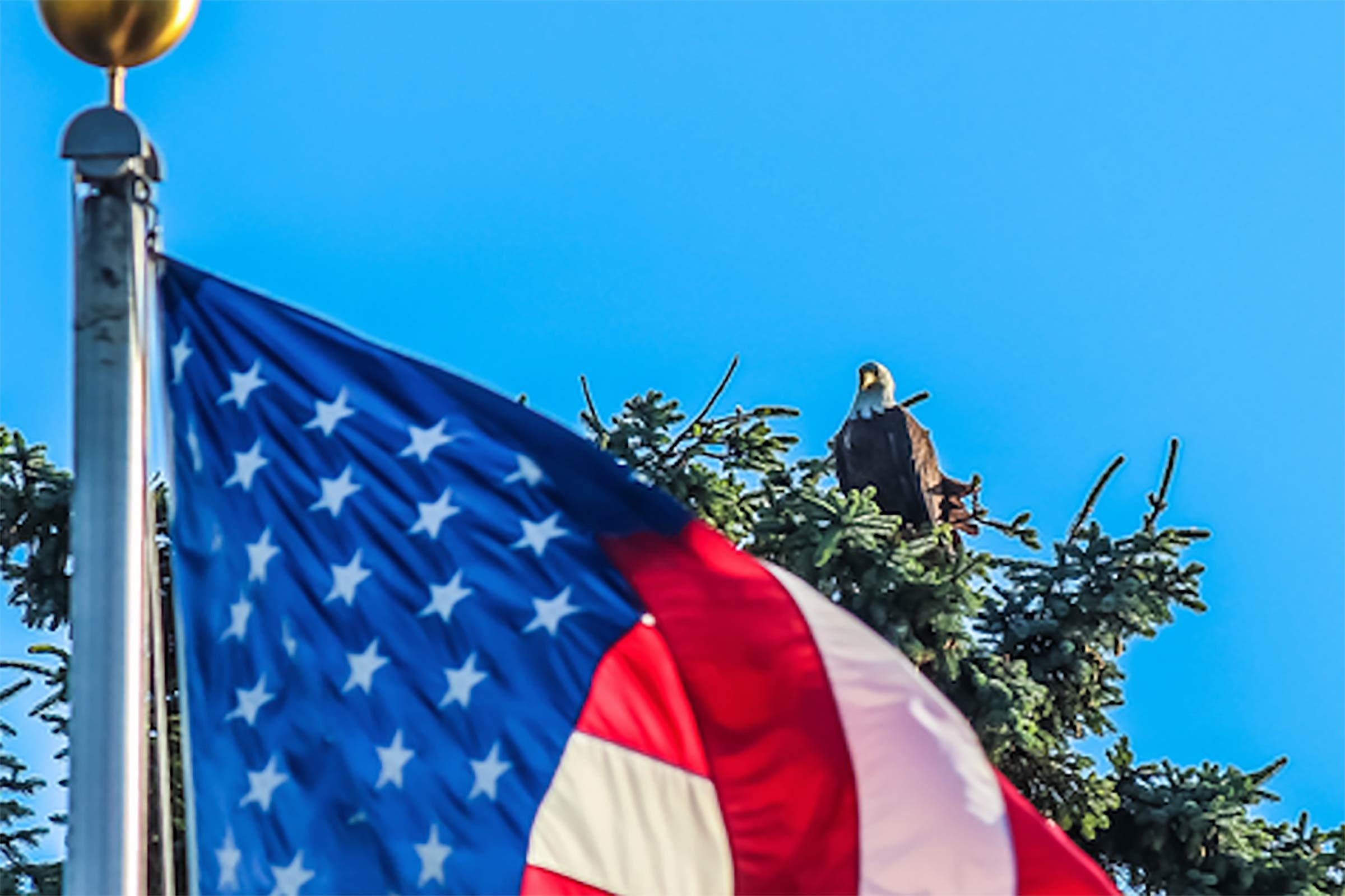 close up on the top of a waving american flag to see a bald eagle sitting at the top of a tree in the background