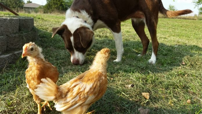 dog with chickens in the grass