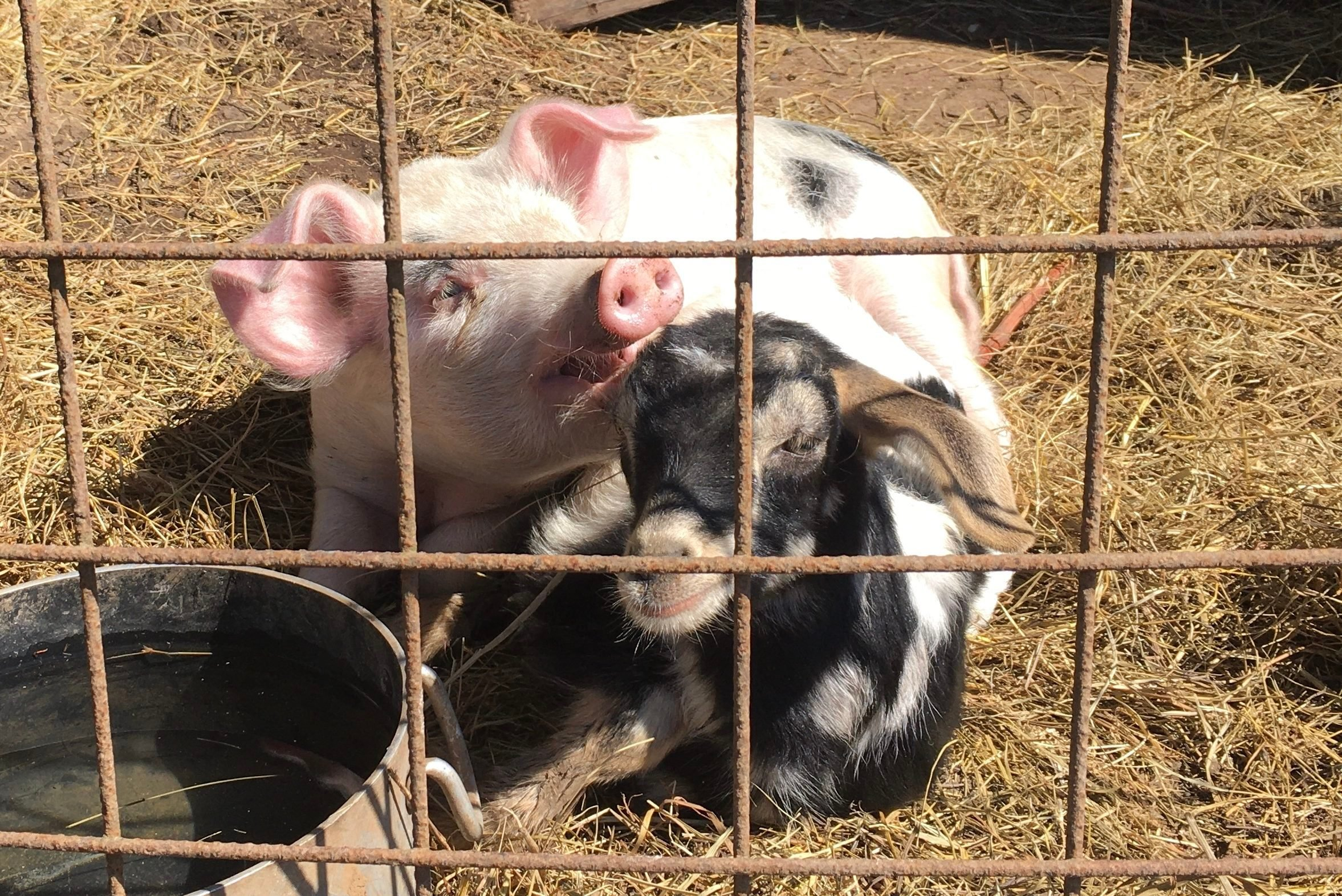 a small pig and a small goat cuddle in the hay in their pen