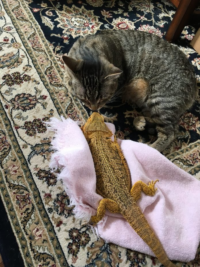 a cat and a lizard touch noses on the rug