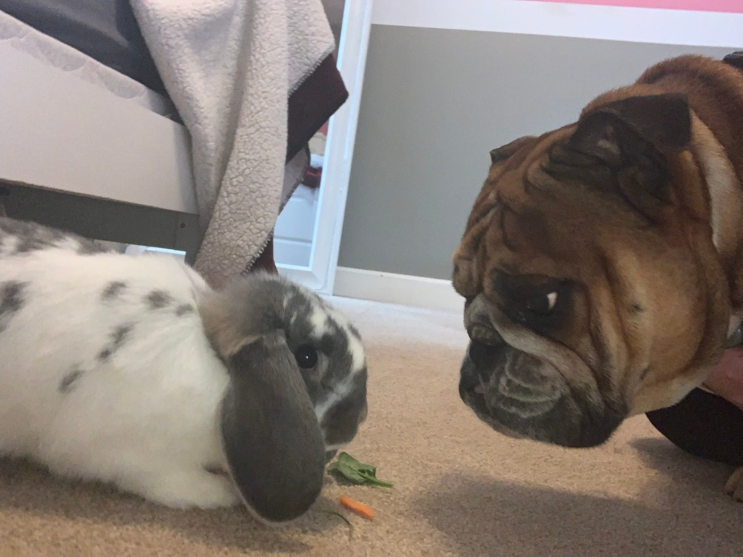 a bunny and dog share a staring contest