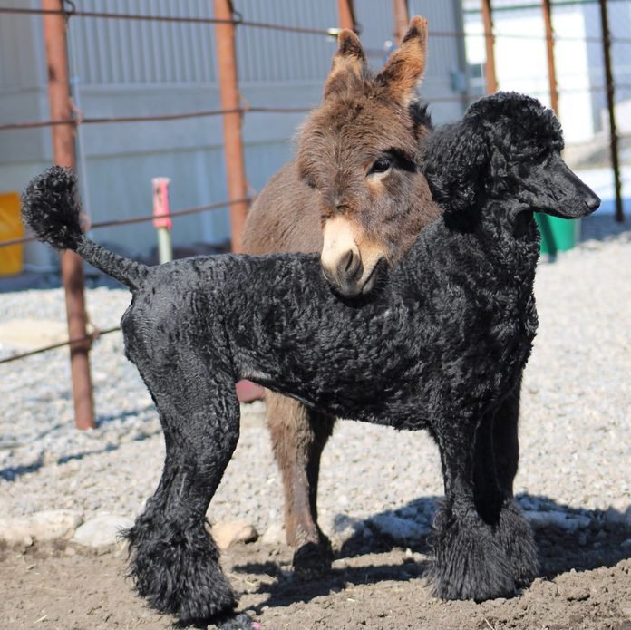 miniature donkey standing with his head resting on the back of the poodle