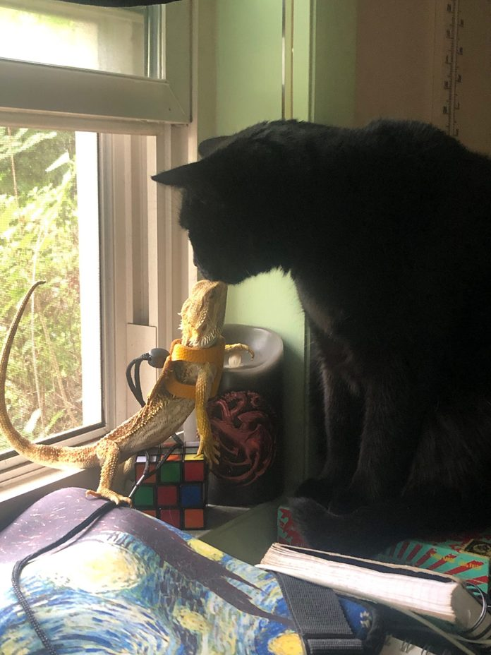 lizard and cat touch noses on a desk near a window