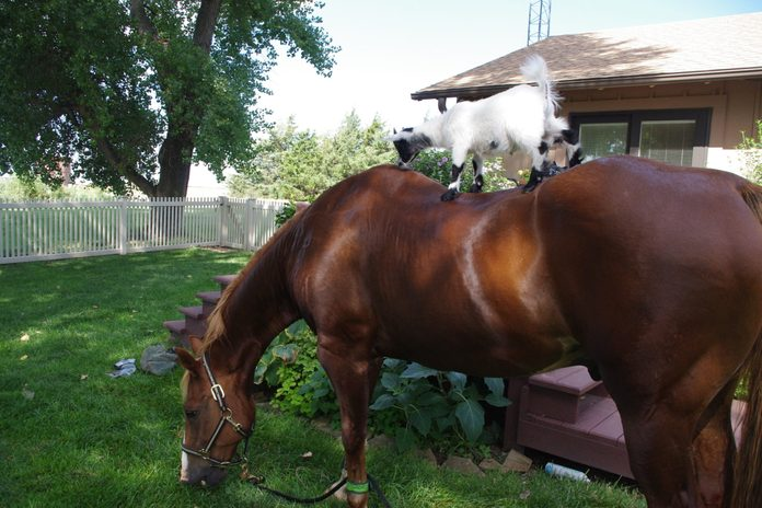 horse with a goat on his back in the backyard