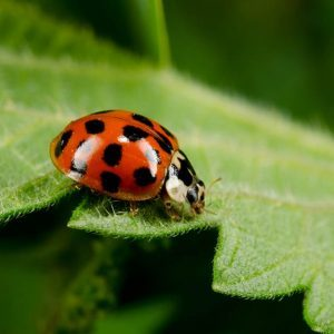 """Watch Out: These """"Fake"""" Ladybugs Will Bite You, Poop on You, and Stain Your Clothes"""