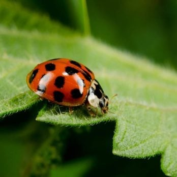 "Watch Out: These ""Fake"" Ladybugs Will Bite You, Poop on You, and Stain Your Clothes"