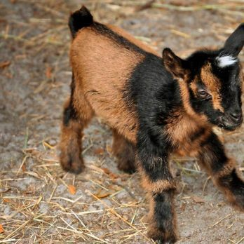 The Story of This Adorable Baby Goat's Fight For Life Will Just About Make Your Day