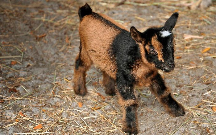 02-The-Story-of-This-Adorable-Baby-Goats-Fight-For-Life-Will-Make-Your-Day-Courtesy-Tara-Dickinson-Country-Extra-FT