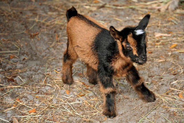 02-The-Story-of-This-Adorable-Baby-Goats-Fight-For-Life-Will-Make-Your-Day-Courtesy-Tara-Dickinson-Country-Extra