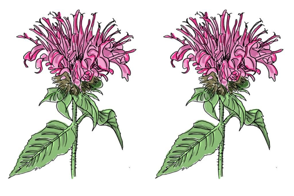 02-beebalm-The-Bee-Population-is-in-Jeopardy---5-Plants-to-Keep-Them-Alive-Scott-Schiller-for-Country-Extra