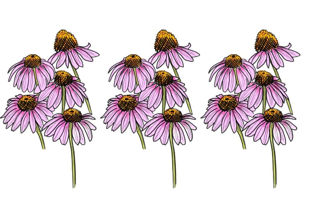 05-coneflower-The-Bee-Population-is-in-Jeopardy---5-Plants-to-Keep-Them-Alive-Scott-Schiller-for-Country-Extra