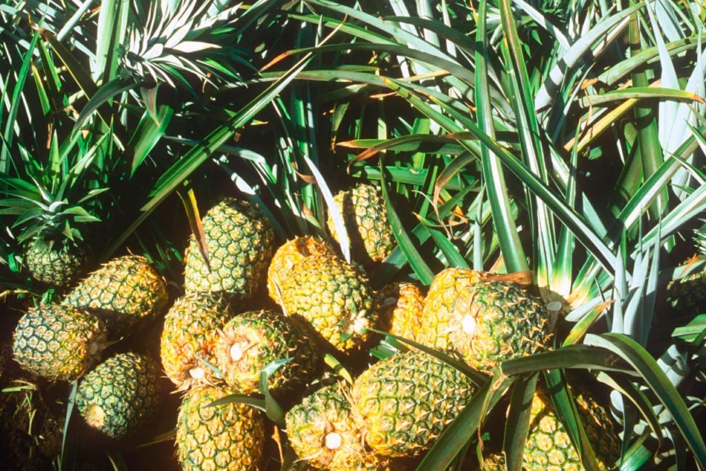 What-It's-Like-Having-A-Summer-Job-Picking-Pineapples-in-Hawaii-253004c-Adrian-BrooksREXShutterstock