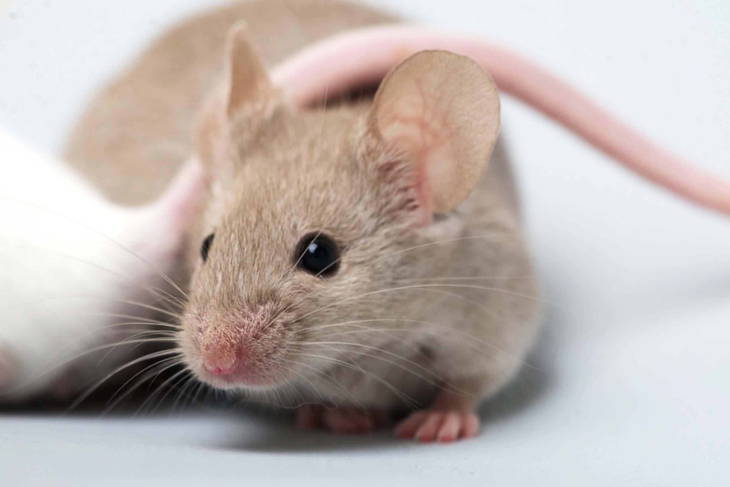 age-mice
