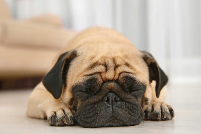 low angle close up of pug dog sleeping on the floor