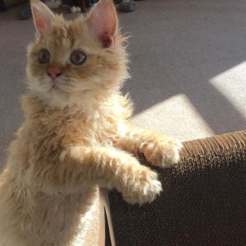 After Seeing These Curly-Haired Cats, You'll Want to Adopt One Immediately