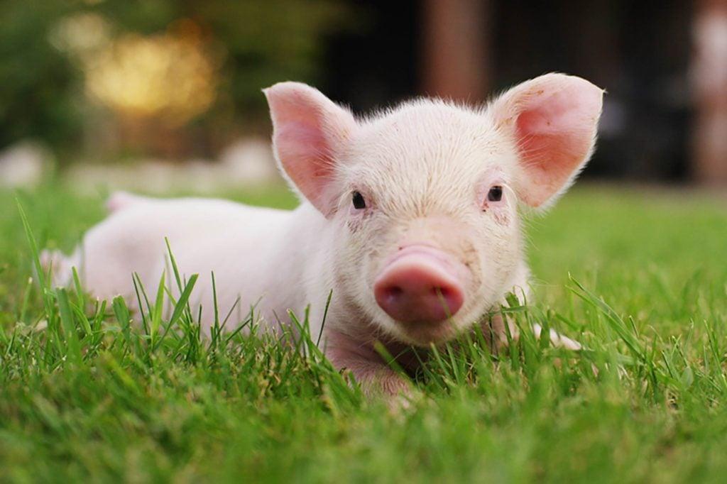 All pigs should have little piggy tails 4