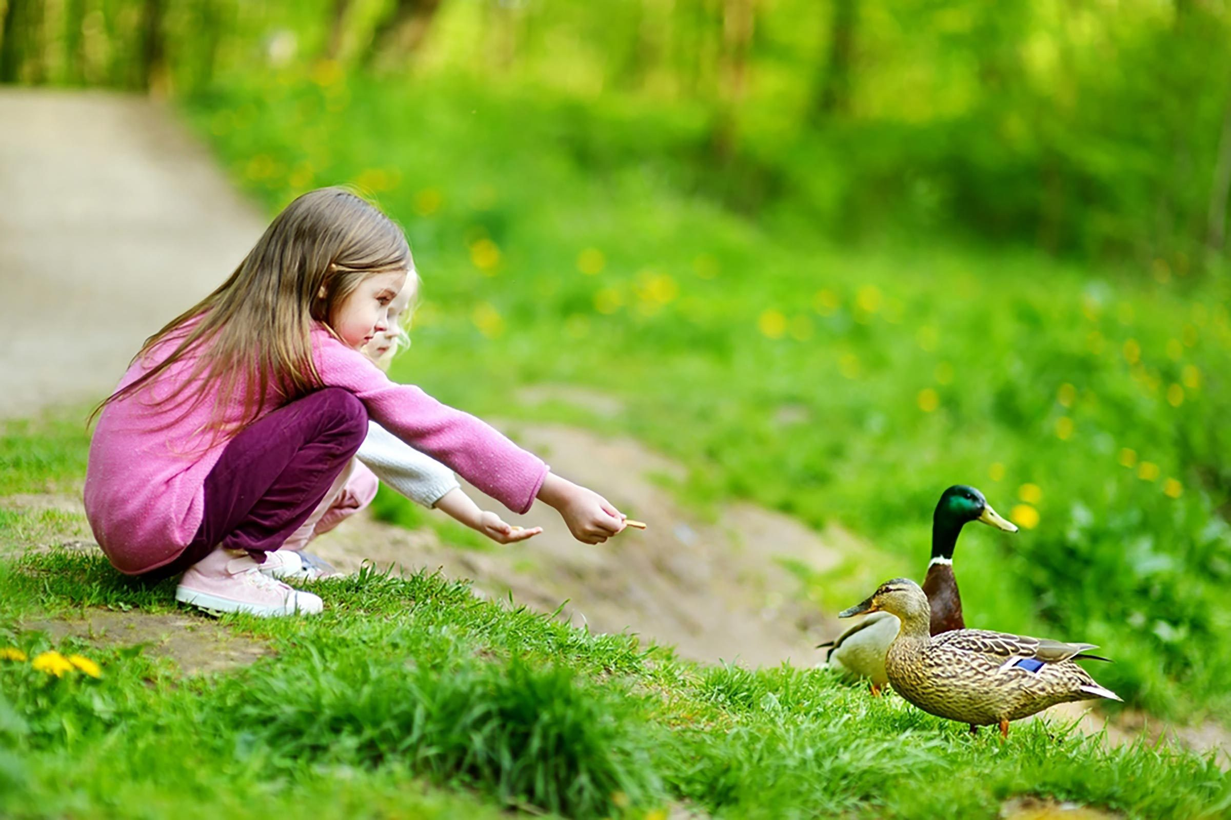 Stop Feeding Ducks Bread It Could Cause Them Lasting Damage