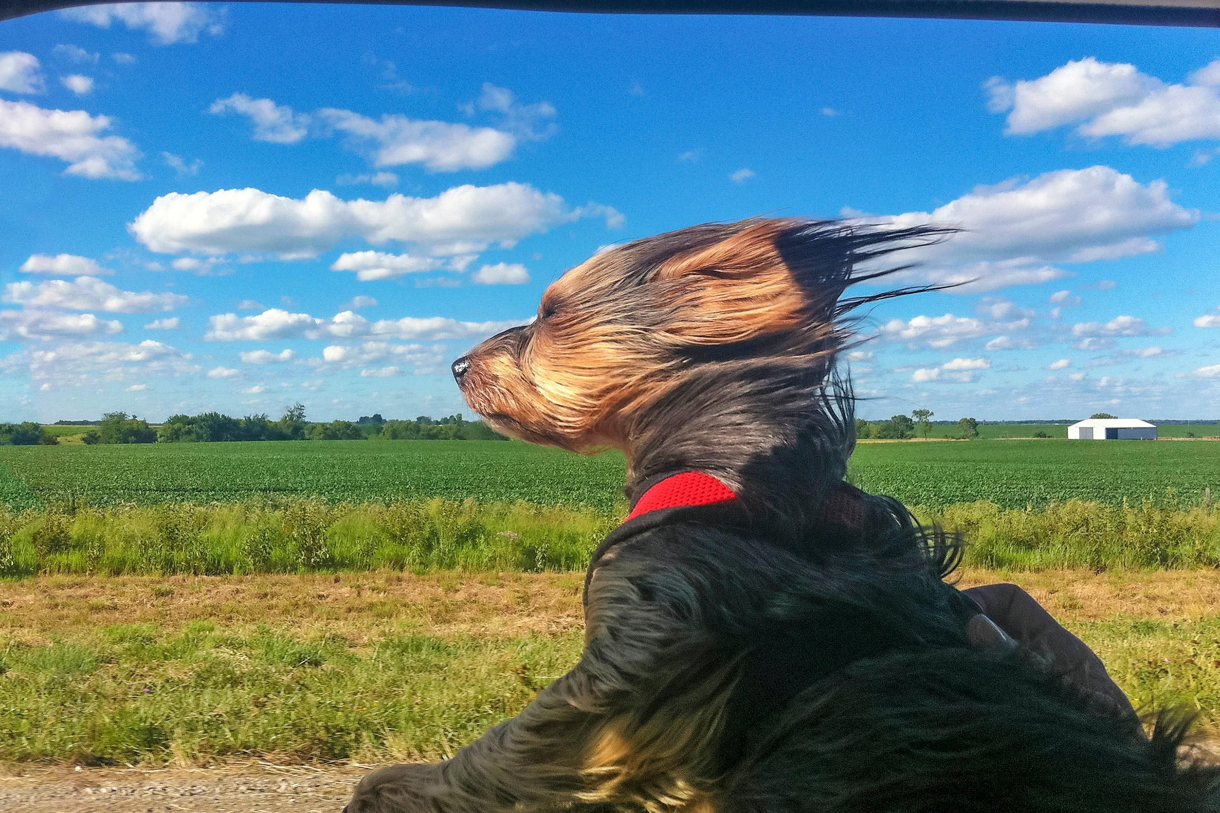 small dog with its head out the car window and hair blowing back on a sunny day near farmland